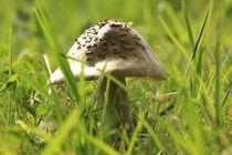 Mushroom in grass von amineah