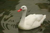 White duck von amineah