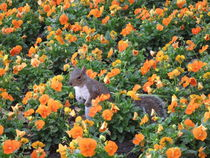 Squirrel in flower bed by amineah