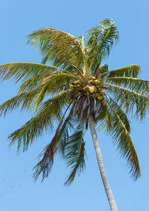 Windblown Coconut Palm von John Bailey