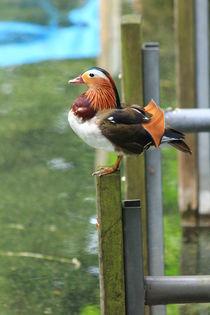 Mandarin Duck, Ente von amineah