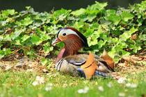 Mandarin Duck, Ente by amineah