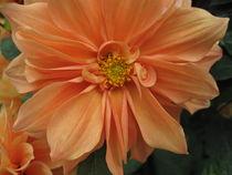 Orange Flower von amineah