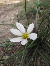 Small White Flower von amineah