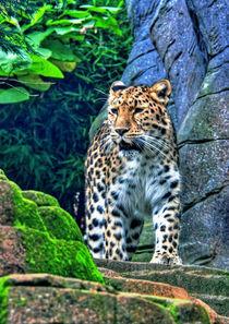 The leopard  by Doug McRae