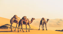 the three camels by Ahmed Rashed