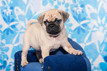 kleiner Mops Hundewelpe auf blauem Sofa von Doreen Zorn