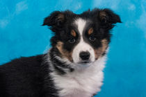 Border Collie Welpe Portrait / Hunde von Doreen Zorn