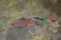 Rainbow Parrotfish von John Bailey