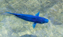 Blue Parrotfish von John Bailey