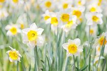 Daffodils von Steve Ball