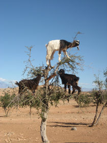 Goats-in-argan-tree