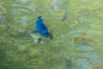 Parrotfish on a Swim by John Bailey
