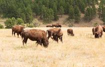 Bison Grazing von John Bailey