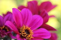 Pink flower II von amineah