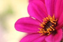 Pink flower von amineah