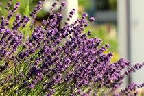 Lavender von amineah
