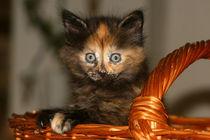Norwegische Waldkatze - Kitten von Susan Milau