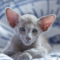 Dsc4990-dot-olh-kitten-lilac-caramel-2-07-13