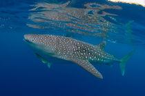 Whaleshark by Christian Schlamann