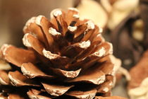 Pinecone by amineah