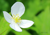 One White Flower by Kume Bryant