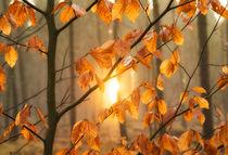 Blätter im Wald kurz vor Sonnenuntergang warm und orange von Matthias Hauser