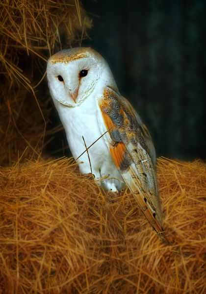 Barn-owl0073