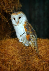 Barn Owl by Louise Heusinkveld