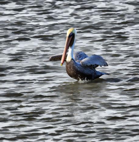 Brown-pelican0362