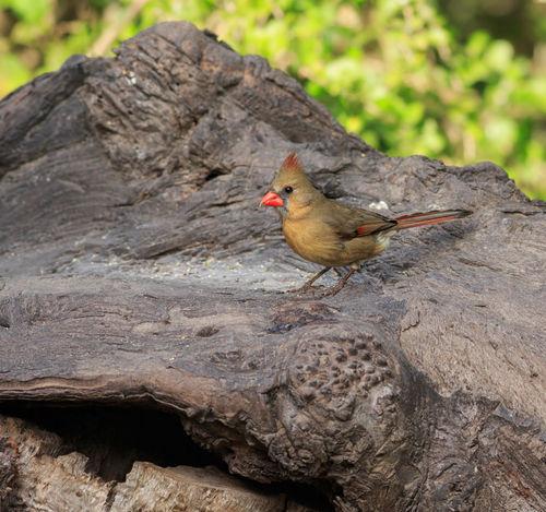 Cardinal0356