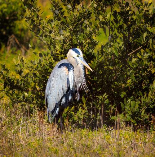 Great-blue-heron0332