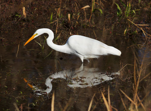 Great-egret0326
