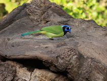 Green Jay by Louise Heusinkveld