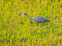 Little Blue Heron by Louise Heusinkveld