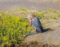 Reddish Egret by Louise Heusinkveld