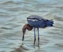 Reddish Egret feeding in shallow water by Louise Heusinkveld