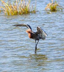 Reddish Egret Canopy Feeding by Louise Heusinkveld