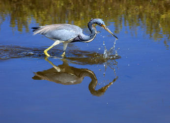 Tricolored-heron0341