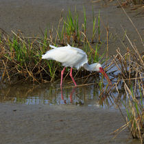 American White Ibis by Louise Heusinkveld