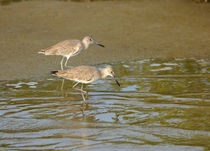Willets Feeding at Waters Edge by Louise Heusinkveld