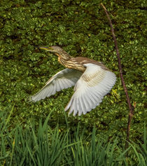 Indian Pond Heron by sidnaique
