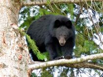 Black-bear-2