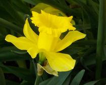 Blüte von Osterglocke by lorenzo-fp