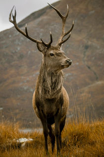Monarch of the Glen by Derek Beattie