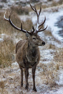 Red Deer Stag in Winter by Derek Beattie