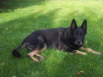 schwarzer Schäferhund, liegend von exxelent