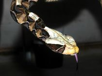 Gabunviper (Bitis gabonica) von exxelent