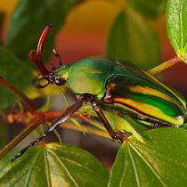 Insekten, Käfer, afrikanischer Rosenkäfer(eudicella gralli), rose chafer, african beetle, bug von Dagmar Laimgruber
