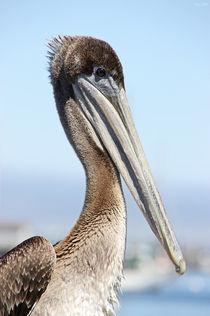 Proud-pelican